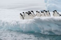 An Iceberg Collision Is Responsible For The Near Destruction Of A Penguin Colony