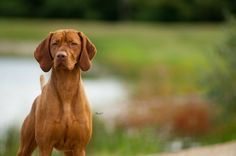 By Jeffrey Hanlin. Wirehaired Vizsla, Hungarian Vizsla, I Like Dogs, All In The Family, Dog Rules, Weimaraner, Cute Faces, Animal Photography, Pointers