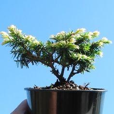 Miniature Garden Betty Rose Dwarf Canada Hemlock