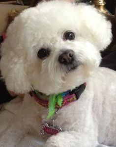 Officially, the longest living dog of this breed was 19 years old Offiziell war der am längsten lebende Hund dieser Rasse 19 Jahre alt Animals And Pets, Baby Animals, Cute Animals, Frise Art, Cute Puppies, Dogs And Puppies, Doggies, Bichon Dog, Teacup Chihuahua