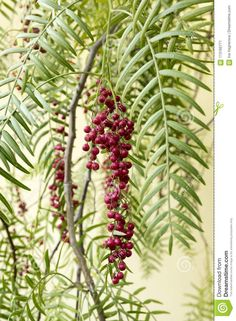 Schinus Molle, Pink Pepper Fruits On Tree Branches Stock Image - Image of mastic, daylight: 113165771 Tree Branches, Trees, Recipe Images, Korn, Botany, Packaging Design, Chile, Phoenix, Harvest