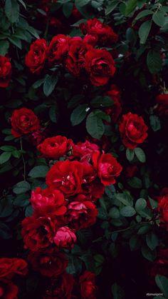Descarga este y mas lindos #fondosdepantalla #fondosdepantallabonitos #fondodepantallaparateléfonos #background #rosas #rojo #wallpapers #wallpaperbackgrounds #bimoriprint Wallpaper, Plants, Pretty Phone Backgrounds, Phone Backgrounds, Red Roses, Minimalist Chic, Red, Wallpapers, Plant