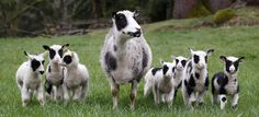 Trina, a 3-year-old Finnsheep, stands with her unusually large brood of seven 2-week-old lambs on April 12 in a field at the home of their owner, Colleen Peck, in Snoqualmie, Wash. Finnsheep, a breed of domestic sheep known for multiple births, commonly give birth to up to five lambs. The healthy septuplets — four boys and three girls — are fed by their mother, and Peck also feeds them a supplemental formula by hand.