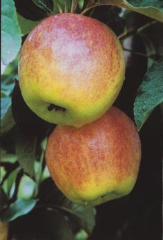 The Stark® GrandGala™ apple tree bears a larger version of the classic Gala apple, giving you more to savor in each bite. Tree is resistant to cedar apple rust.