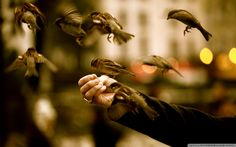 nice feeding sparrows wallpaper Check more at http://www.finewallpapers.eu/pin/4201/