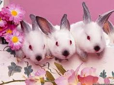 baby Himalayan rabbits