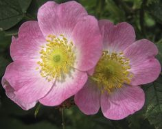Wild Rose by anthonyfalla, via Flickr | #flowers #rose #pink #green #yellow