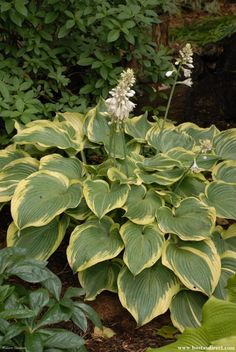Hosta 'Earth Angel' - Hosta of the Year 2009