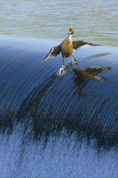 This avian surfer takes to the waves like a duck to water.  Milky way scientists —