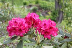 Rhododendrons in full bloom in our garden - june 2012