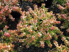 1000 images about abelia abelia abelia on pinterest shrubs kaleidoscopes and evergreen shrubs. Black Bedroom Furniture Sets. Home Design Ideas