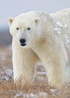 I m master polar bear