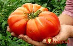 Dajte čerstvú žihľavy do každej jamy: Keď zistíte, čo to urobí s koreňmi rajčín, nebudete váhať ani sekundu! Fresh Vegetables, Veggies, Tomato Seeds, Hardy Perennials, Korn, Sprouts, Pumpkin, Gardening, Sodas