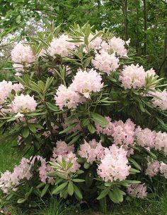 Alppiruusu - Rhododendron - Mikkeli - Viherpeukalot