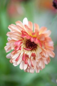 Calendula Seed - Touch of Red Buff