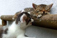 寝る猫と遊びたい猫(The cat which sleeps・・・)