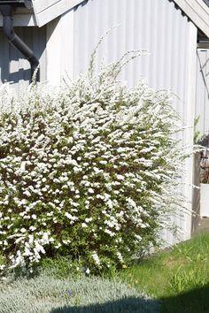 Spirea - favoriten bland friväxande häckar   Blomsterlandet.se