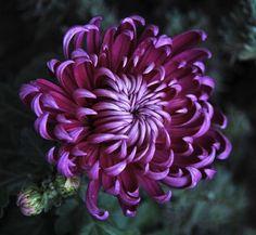 Chrysanthème - is-sit tiegħi Exotic Flowers, Beautiful Flowers, Crisantemo Tattoo, Month Flowers, Chrysanthemum Flower, Motif Floral, Flower Tattoos, Flower Power, Planting Flowers