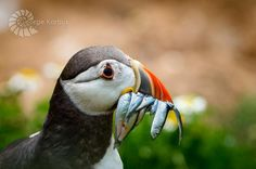 Irish Puffin with fish at Saltees Islands West Coast Of Ireland, Cliffs Of Moher, Flora And Fauna, Ocean Waves, Landscape Photographers, Marine Life, Wildlife Photography, Mammals, Irish