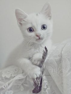 White kittens in white background just perfect. - ok now that just looks fake Pretty Cats, Beautiful Cats, Animals Beautiful, Cute Animals, Pretty Kitty, White Kittens, Cats And Kittens, Ragdoll Kittens, Tabby Cats