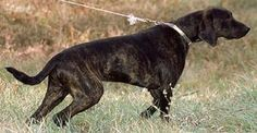 One tough cookie!:)  Plott Hound