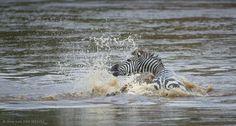 swimming zebra - Google-søk