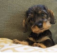 A lovely fuzzy wire dachshund puppy 😍 - Dackel - Puppies Dapple Dachshund, Wire Haired Dachshund, Dachshund Puppies, Weenie Dogs, Cute Puppies, Dogs And Puppies, Baby Dogs, Pet Dogs, Dog Cat