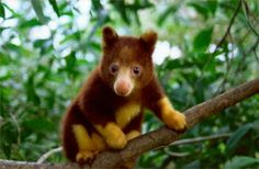 A Golden-Mantled Tree Kangaroo -- very rare and mysterious creature endemic to PNG...
