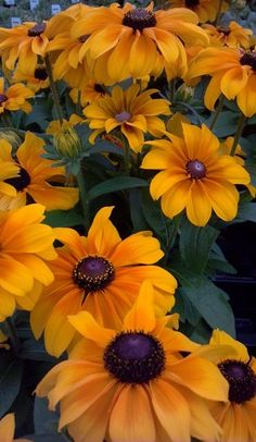 Rudbeckia, Indian Summer Rudbeckia Height: Light requirements: full sun Water requirements: water regularly Growth Pattern: upright Uses: beds, borders, cut flowers Yellow Flowers, Beautiful Flowers, Summer Flowers, Beautiful Pictures, Black Eyed Susan, Floral, Plantar, Gerbera, Flower Beds