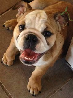 ❤ Maybelline ~ just happy ALL OVER ! ❤ Posted on Bulldog Pics