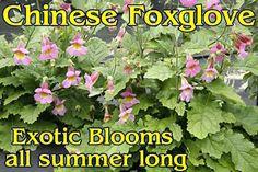 Foxglove -Chinese Rehmannia elata