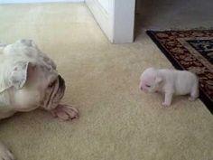 #Cute #Bulldog #Puppy - #funny #dog
