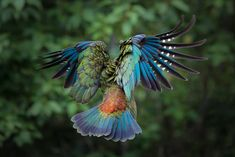 New Zealand Kea in Flight - Imgur