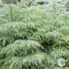 Cryptomeria japonica 'Elegans Viridis': conteneur 3 litres Herbs, Gardening, Plants, Gardens, Shrubs, Lawn And Garden, Herb, Plant, Planets
