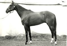 Snowbound ridden by William Steinkraus represented the USA and won Individual gold medal at the 1968 Olympic Games.