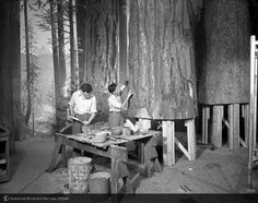 """""""Preparing Olympic Forest Scene exhibit, Forestry Hall, 1952""""  AMNH"""