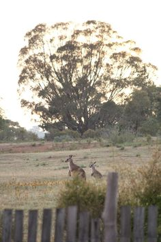 """Sneak Peek: Ingrid Weir. """"It's endlessly fascinating watching the kangaroos over the fence. I've seen a few boxing matches — young males balanced on their hind legs, striking out with their little paws."""" #sneakpeek"""