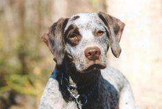 Braque du Bourbonnais, Bourbonnais Pointer Braque Du Bourbonnais, Rare Dogs, Cute Dog Pictures, Doge, Dog Breeds, Racing, Pure Products, Animals, Foundation