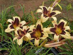 Taglilie Daylily Hemerocallis Wild Horses   5 Fächer