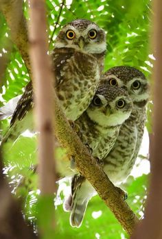 Spotted owlets  Bhilai Chattisgar INDIA