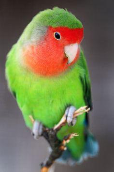 "DMarlena says ""this is a Peachface Lovebird"""