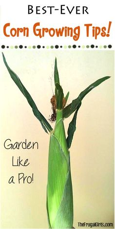 Growing Corn Tips!  15 Tips for Growing Delicious Corn this year!  You'll love these fun gardening tips and tricks for growing your own corn at home! | TheFrugalGirls.com
