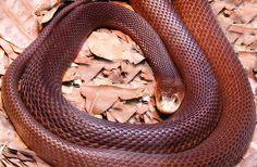 Serpiente Taipan Oxyuranus microlepidotus