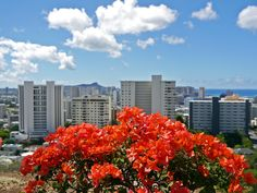 Bougainvillea#Hawaii