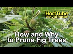 (1843) How and Why to Prune Fig Trees - YouTube Shrubs, Plants, Planting Flowers, Prune, Tree Care, Growing Food, Tree, Fruit Trees, Plant Hacks
