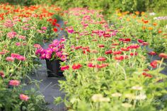 #farmerflorist #flowerfarm  Zinnias doing their thing in August. At Dahlia May Flower Farm. Image by @AshleySlessor