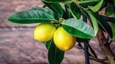 Citrus Fruit Collection - Lemon, Lime, Fig and Calamondin with Optional Patio Pots Growing Vegetables Indoors, Growing Plants, Fruit Plants, Fruit Trees, Meyer Lemon Tree, Dwarf Trees, Citrus Trees, Citrus Fruits, Fertilizer For Plants