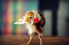 Chick in Kerchief!