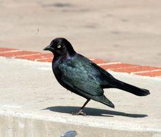 picturesofbrewersblackbirds - Google Search