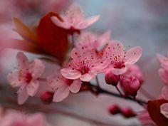 http://fc01.deviantart.net/fs71/i/2012/345/f/0/these_cherry_blossoms_by_morgan_lou-d3bsem8.jpg